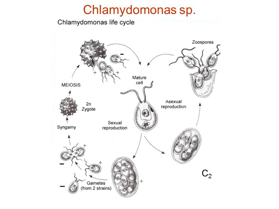 Chlamydomonas sp. C2C2
