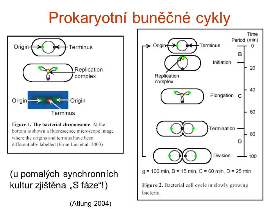 """Prokaryotn í buněčn é cykly (u pomalých synchronních kultur zjištěna """"S fáze""""!) (Atlung 2004)"""
