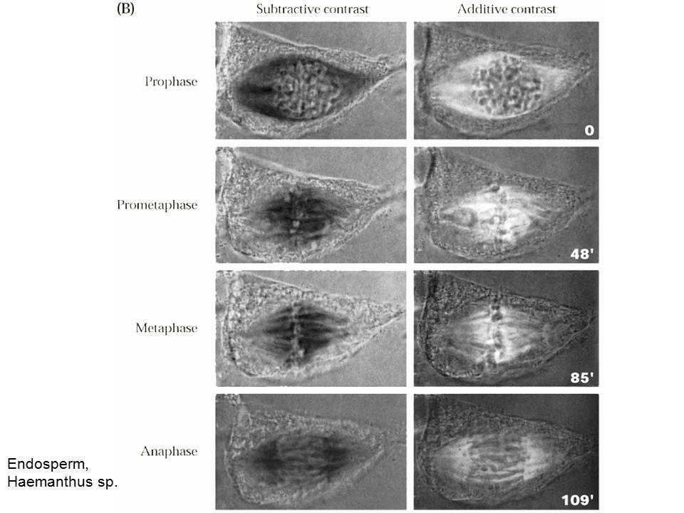 Přirozeně synchronní buňky: embrya bezobratlých a obojživelníků