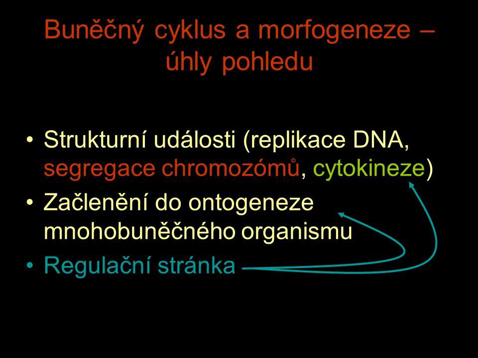 Buněčný cyklus a morfogeneze – úhly pohledu Strukturní události (replikace DNA, segregace chromozómů, cytokineze) Začlenění do ontogeneze mnohobuněčné