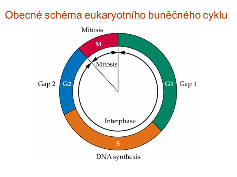 (G0) Obecn é sch é ma eukaryotn í ho buněčn é ho cyklu