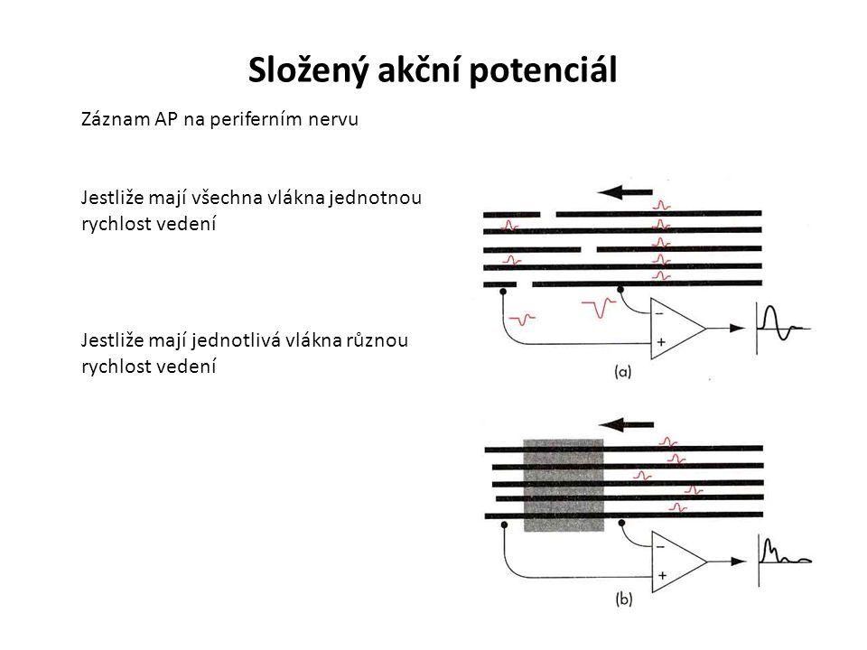 Složený akční potenciál Záznam AP na periferním nervu Jestliže mají všechna vlákna jednotnou rychlost vedení Jestliže mají jednotlivá vlákna různou rychlost vedení