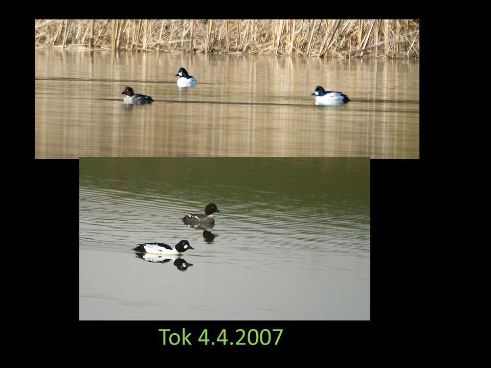 Stavba hnízda 4.4.2007 Snůška 8 vajec 21.4.0 7 Červený rybník 2007