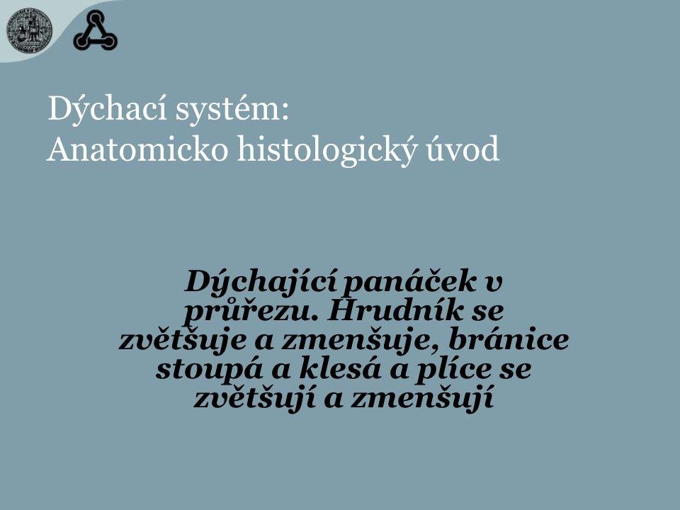 Dýchací systém: Anatomicko histologický úvod Dýchající panáček v průřezu. Hrudník se zvětšuje a zmenšuje, bránice stoupá a klesá a plíce se zvětšují a