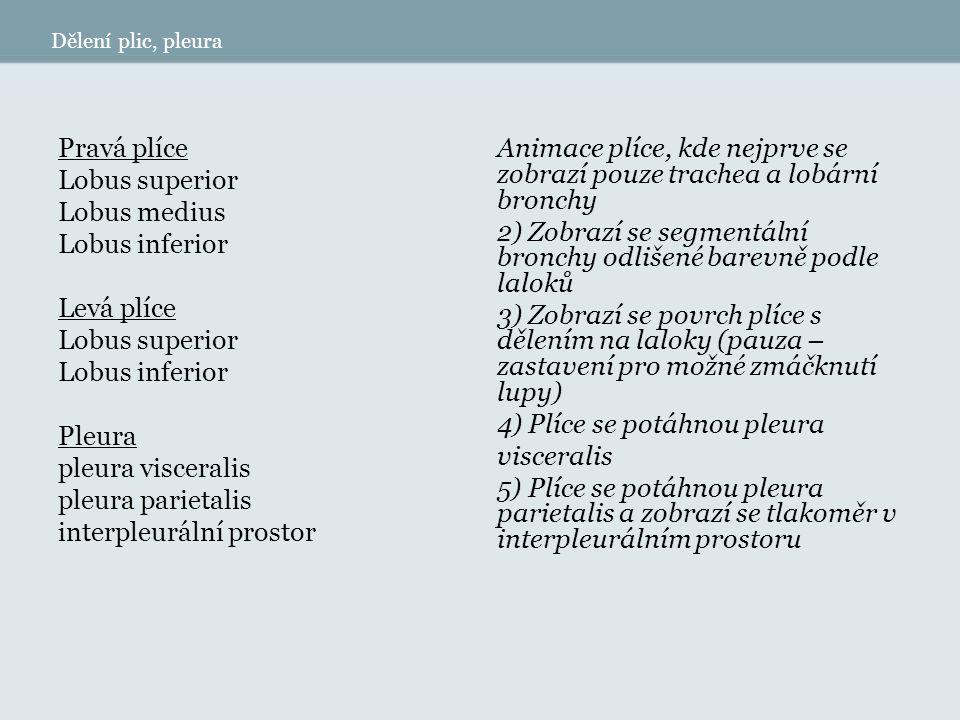 Dělení plic, pleura (lupa, vložená animace do předchozí) Pravá plíce Lobus superior S I segmentum apicale SII segmentum posterius SIII segmentum anterius Lobus medius S IV segmentum laterale S V segmentum mediale Lobus inferior S VI segmentum superius S VII segmentum basale mediale S VIII segmentum basale anterius S IX segmentum basale laterale S X segmentum basale posterius Levá plíce Lobus superior S I + II segmentum apicoposterius SIII segmentum anterius S IV segmentum lingulare superius S V segmentum lingulare inferius Lobus inferior S VI segmentum superius S VII segmentum basale mediale – var.