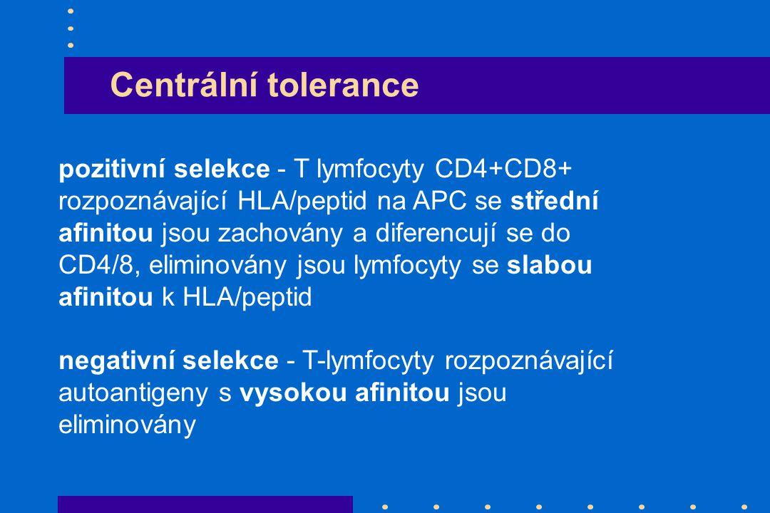 Centrální tolerance pozitivní selekce - T lymfocyty CD4+CD8+ rozpoznávající HLA/peptid na APC se střední afinitou jsou zachovány a diferencují se do C