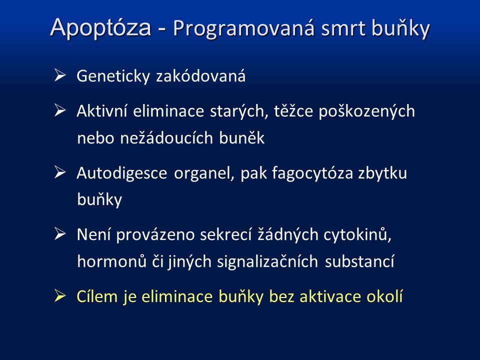 Apoptóza - Programovaná smrt buňky  Geneticky zakódovaná  Aktivní eliminace starých, těžce poškozených nebo nežádoucích buněk  Autodigesce organel,