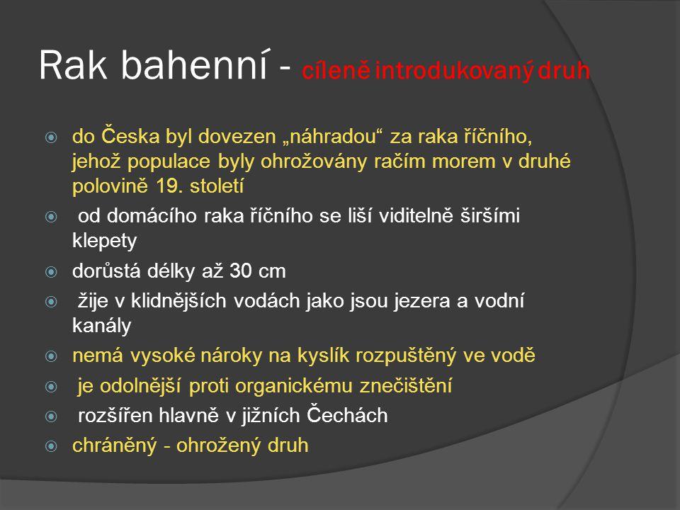 """Rak bahenní - cíleně introdukovaný druh  do Česka byl dovezen """"náhradou za raka říčního, jehož populace byly ohrožovány račím morem v druhé polovině 19."""