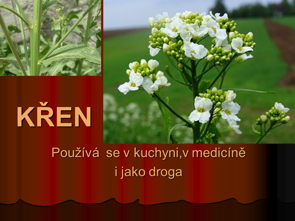 KŘEN Používá se v kuchyni,v medicíně i jako droga