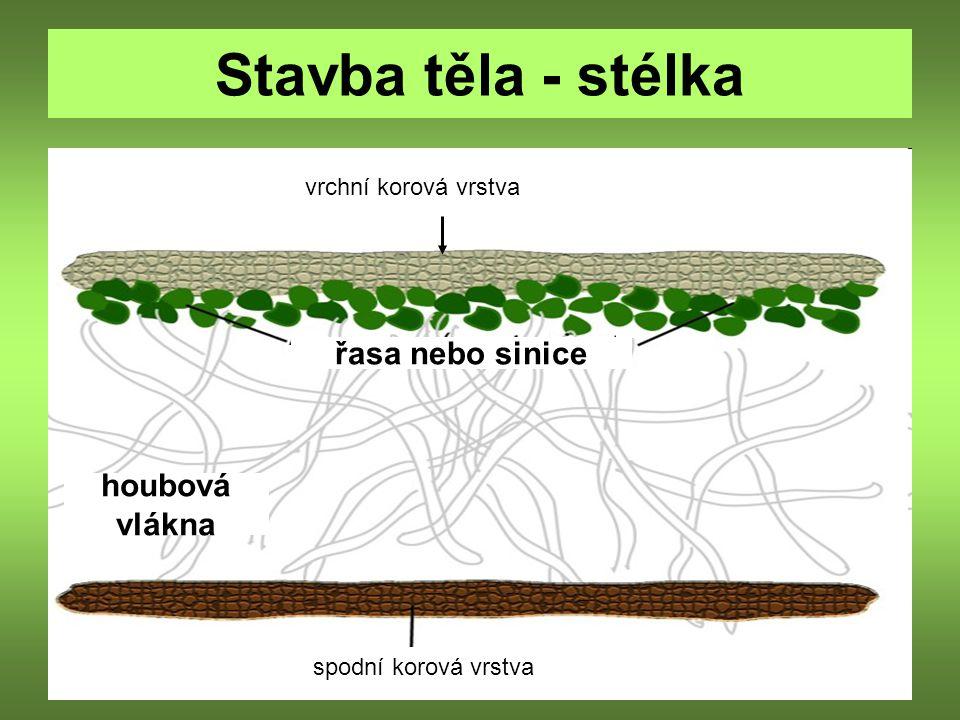 Stavba těla - stélka vrchní korová vrstva řasa nebo sinice houbová vlákna spodní korová vrstva