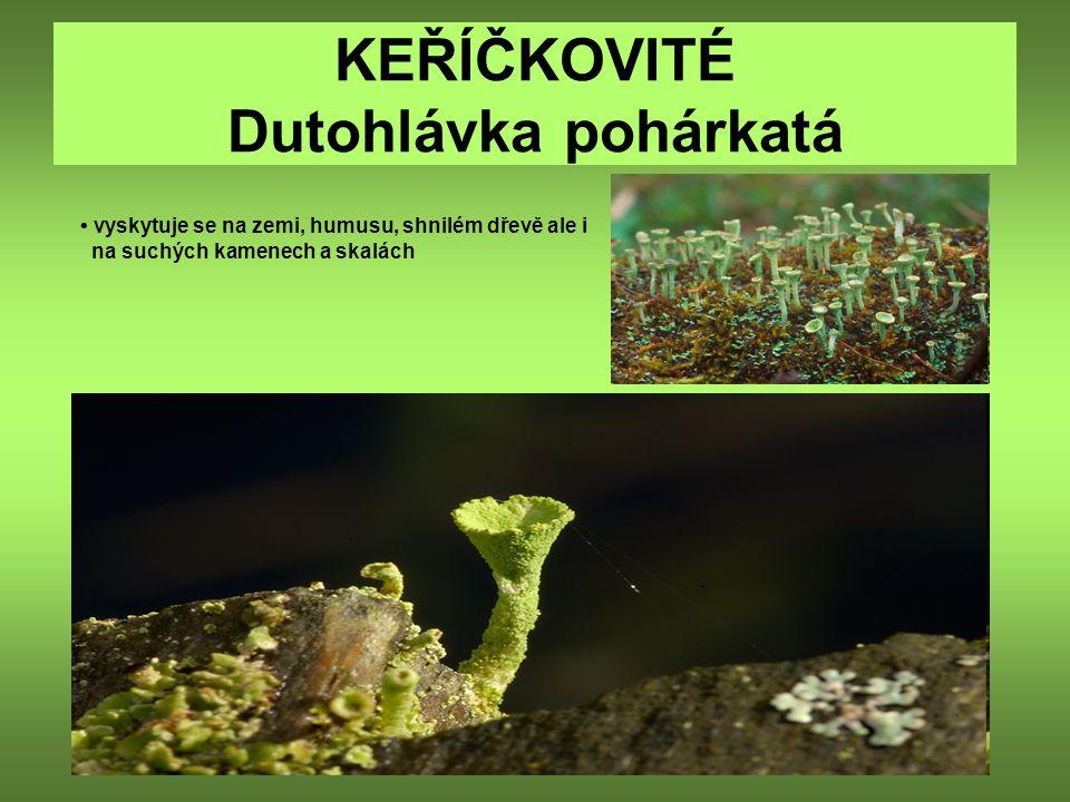KEŘÍČKOVITÉ Dutohlávka pohárkatá vyskytuje se na zemi, humusu, shnilém dřevě ale i na suchých kamenech a skalách
