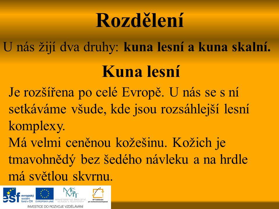 Rozdělení U nás žijí dva druhy: kuna lesní a kuna skalní. Kuna lesní Je rozšířena po celé Evropě. U nás se s ní setkáváme všude, kde jsou rozsáhlejší