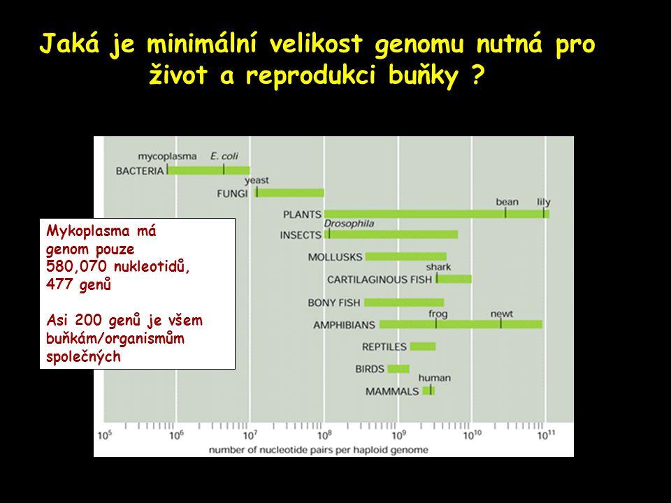 Jaká je minimální velikost genomu nutná pro život a reprodukci buňky ? Mykoplasma má genom pouze 580,070 nukleotidů, 477 genů Asi 200 genů je všem buň