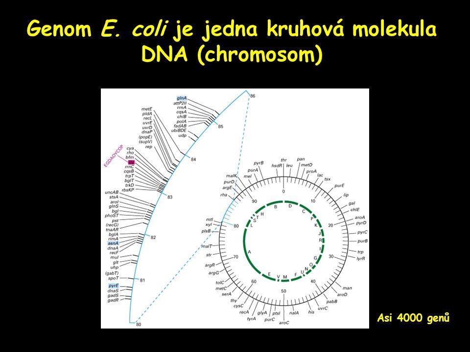 Genom E. coli je jedna kruhová molekula DNA (chromosom) Asi 4000 genů