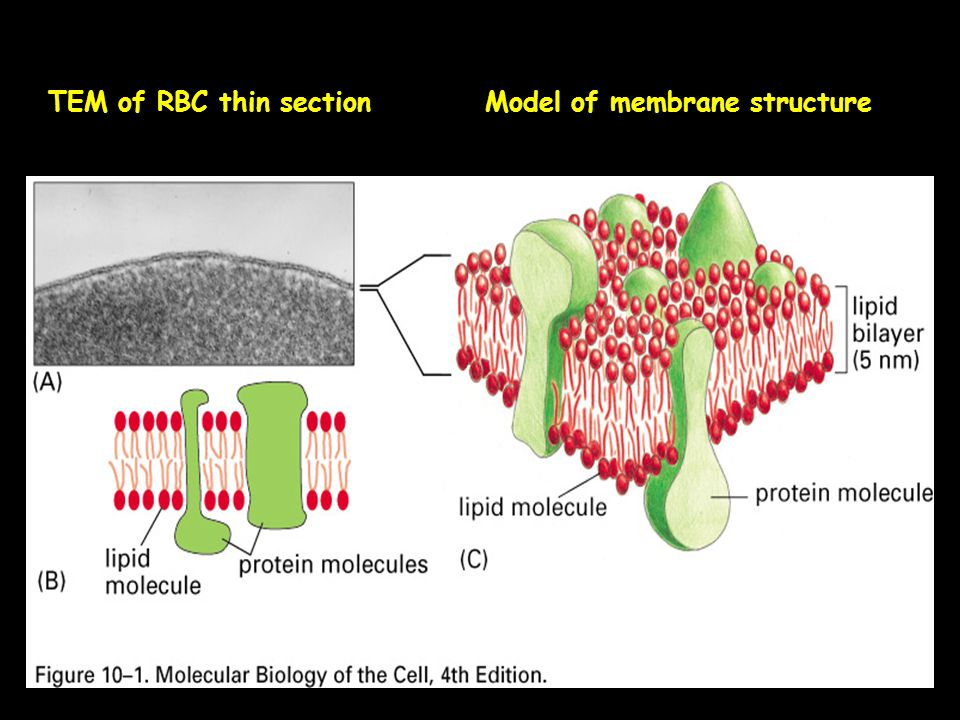 TEM of RBC thin section Model of membrane structure