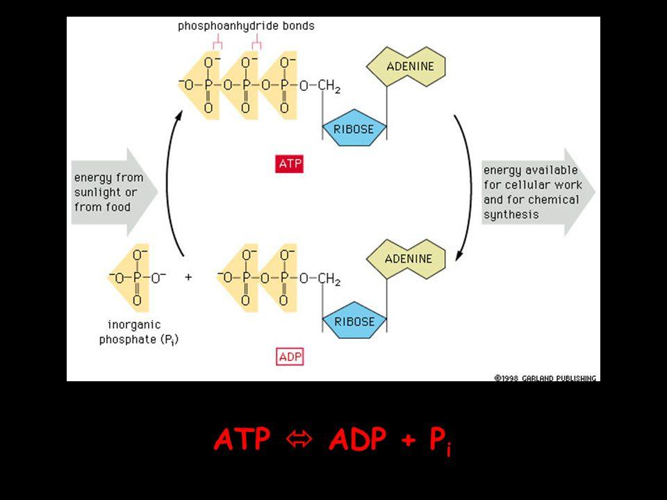 ATP  ADP + P i