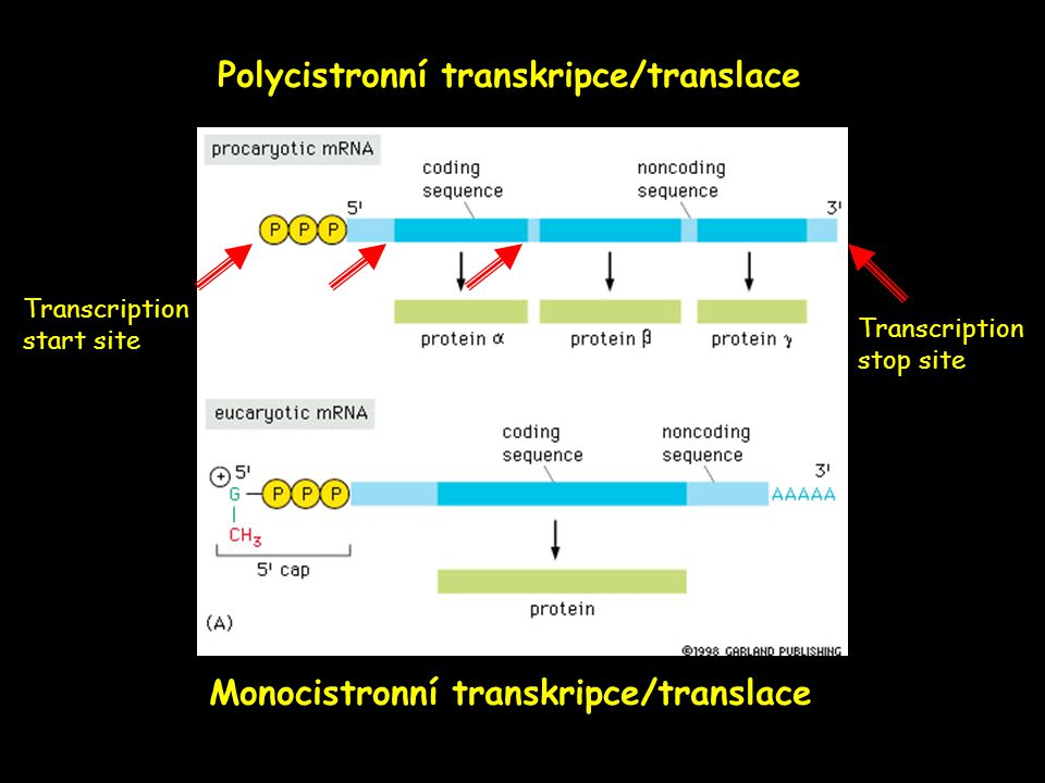 Polycistronní transkripce/translace Monocistronní transkripce/translace Transcription start site Transcription stop site