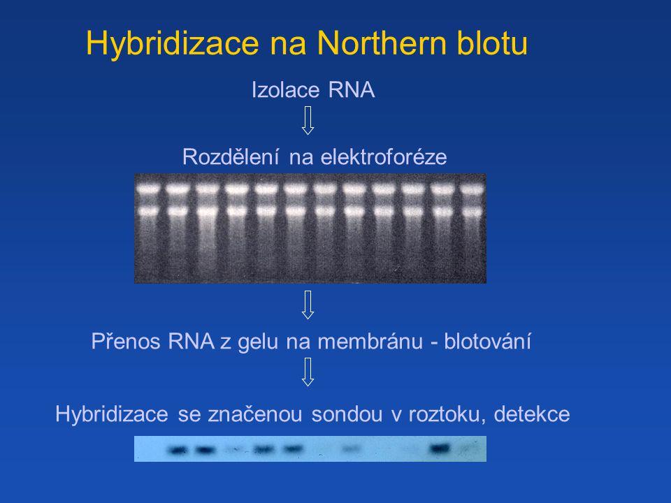 Hybridizace na Northern blotu Macroarrays Izolace RNA Rozdělení na elektroforéze Přenos RNA z gelu na membránu - blotování Hybridizace se značenou sondou v roztoku, detekce