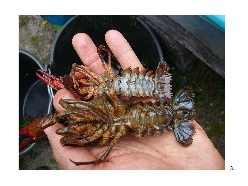 Příbuzné druhy Rak bahenní - je větší než říční, měří až 25 cm.
