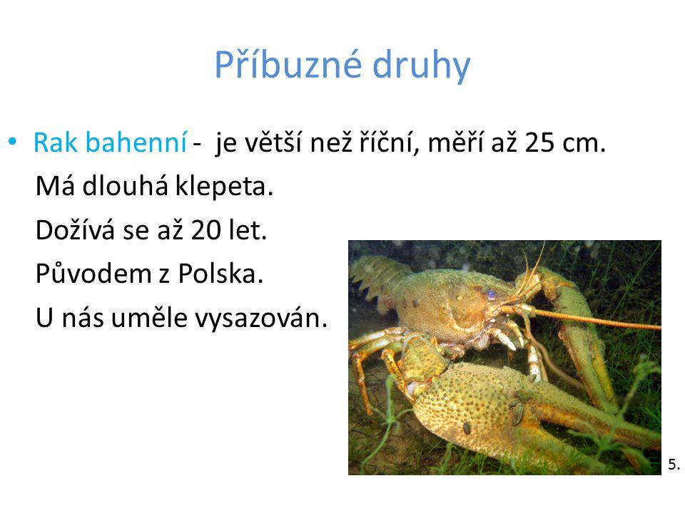 Příbuzné druhy Rak bahenní - je větší než říční, měří až 25 cm. Má dlouhá klepeta. Dožívá se až 20 let. Původem z Polska. U nás uměle vysazován. 5.