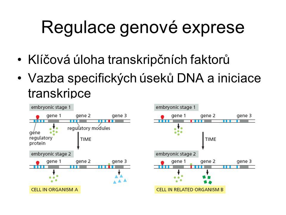Regulace genové exprese Klíčová úloha transkripčních faktorů Vazba specifických úseků DNA a iniciace transkripce