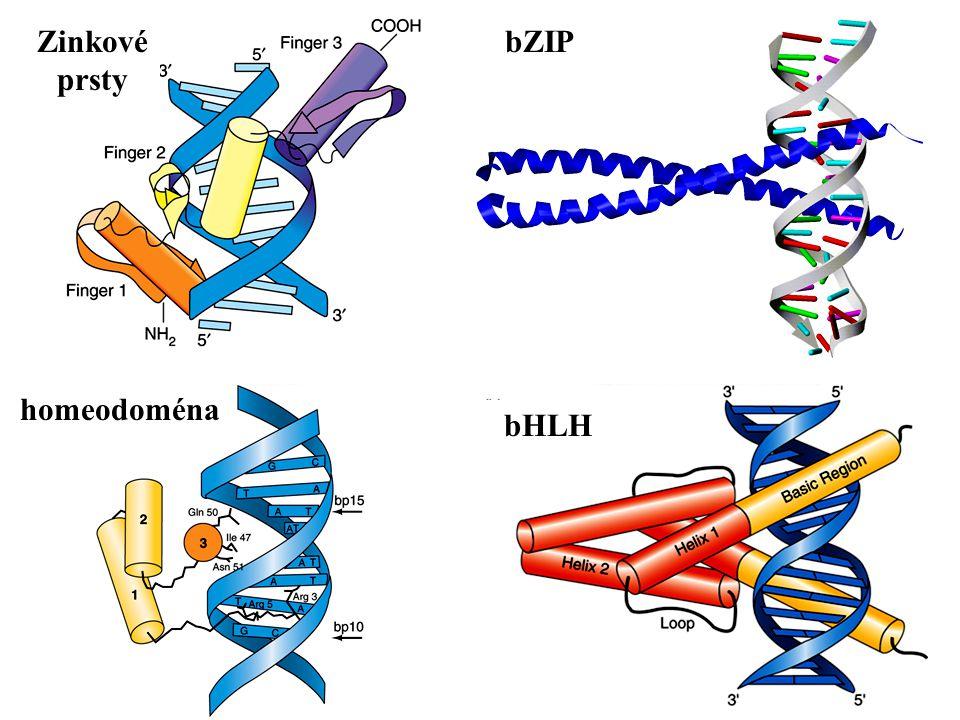Zinkové prsty bHLH bZIP homeodoména