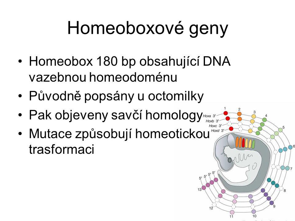 Homeoboxové geny Homeobox 180 bp obsahující DNA vazebnou homeodoménu Původně popsány u octomilky Pak objeveny savčí homology Mutace způsobují homeotickou trasformaci