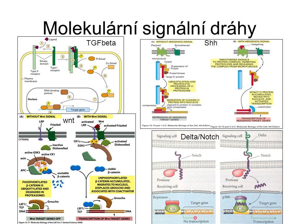 TGFbetaShh wnt Delta/Notch Molekulární signální dráhy