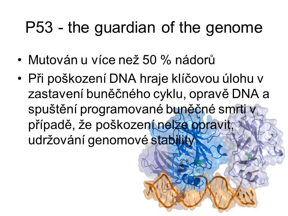 P53 - the guardian of the genome Mutován u více než 50 % nádorů Při poškození DNA hraje klíčovou úlohu v zastavení buněčného cyklu, opravě DNA a spuštění programované buněčné smrti v případě, že poškození nelze opravit, udržování genomové stability