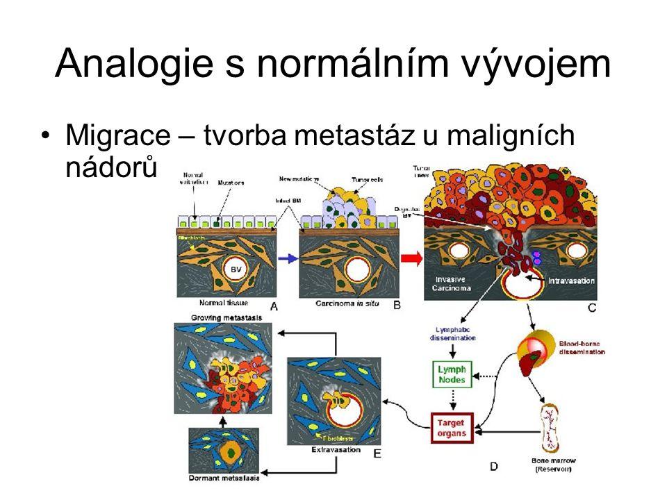 Analogie s normálním vývojem Migrace – tvorba metastáz u maligních nádorů