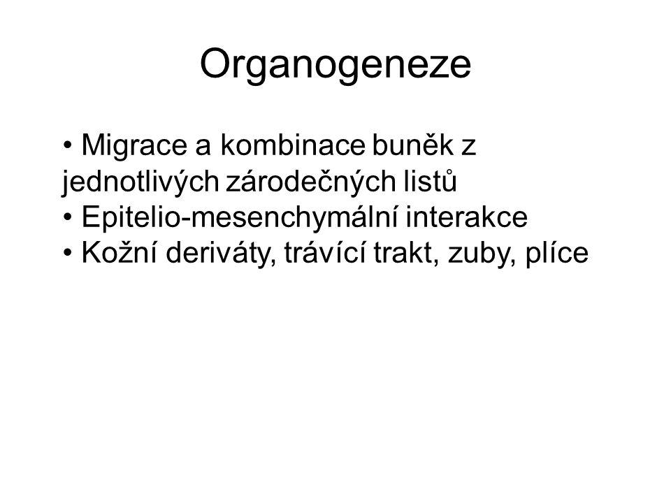 Organogeneze Migrace a kombinace buněk z jednotlivých zárodečných listů Epitelio-mesenchymální interakce Kožní deriváty, trávící trakt, zuby, plíce
