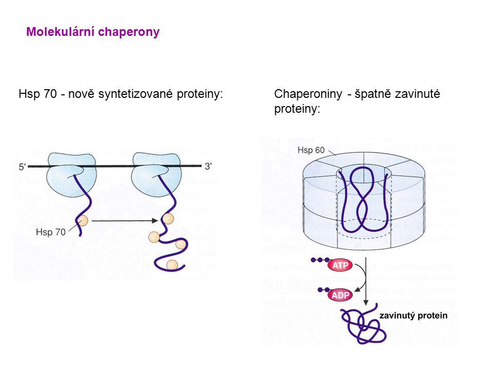 Molekulární chaperony Hsp 70 - nově syntetizované proteiny:Chaperoniny - špatně zavinuté proteiny: