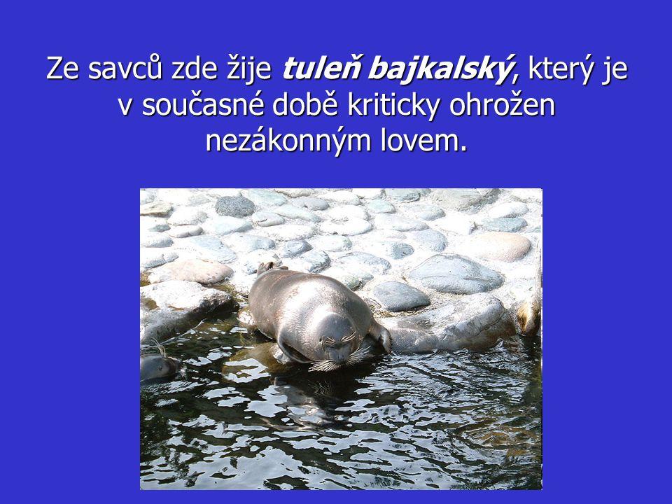 Ze savců zde žije tuleň bajkalský, který je v současné době kriticky ohrožen nezákonným lovem.