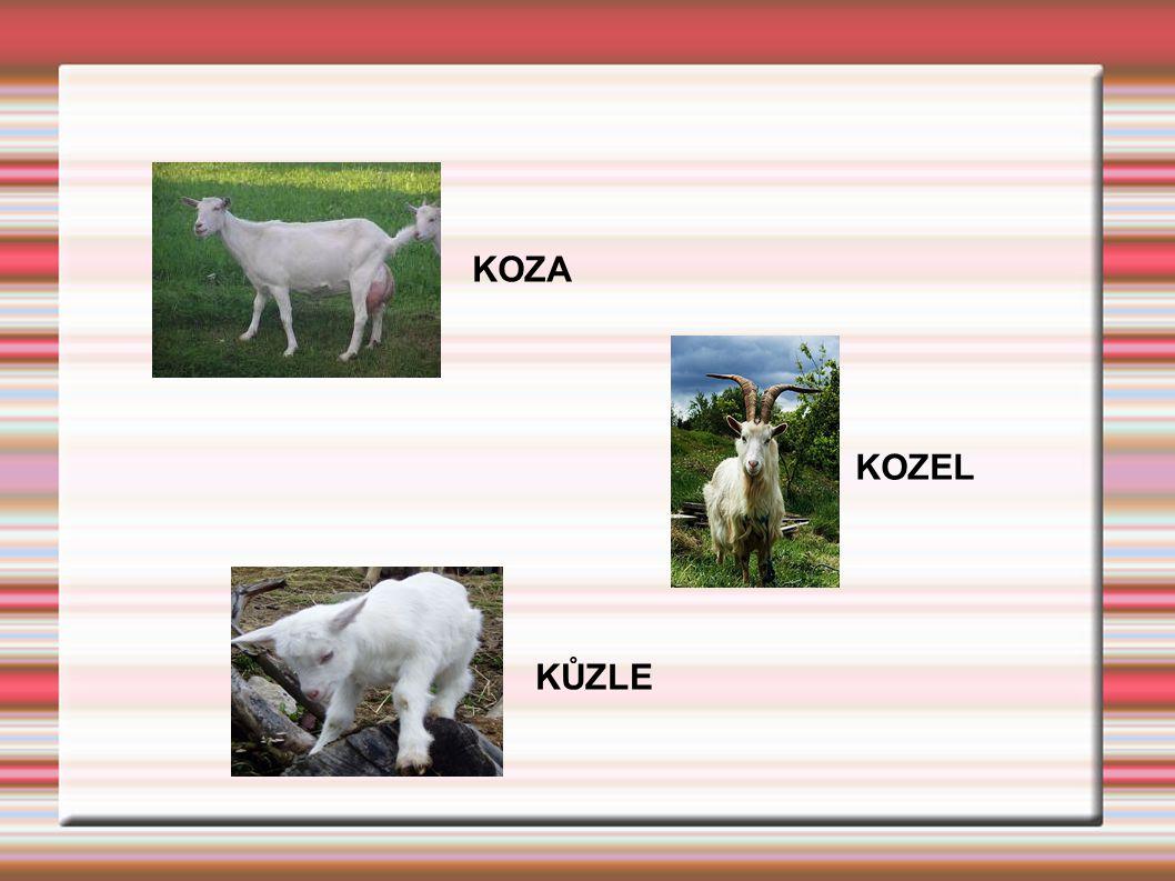 KOZA KŮZLE KOZEL