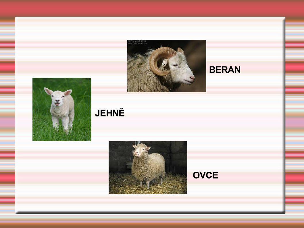 JEHNĚ BERAN OVCE