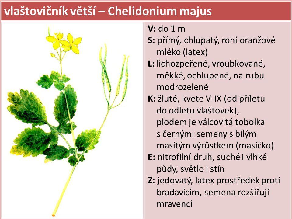 vlaštovičník větší – Chelidonium majus V: do 1 m S: přímý, chlupatý, roní oranžové mléko (latex) L: lichozpeřené, vroubkované, měkké, ochlupené, na rubu modrozelené K: žluté, kvete V-IX (od příletu do odletu vlaštovek), plodem je válcovitá tobolka s černými semeny s bílým masitým výrůstkem (masíčko) E: nitrofilní druh, suché i vlhké půdy, světlo i stín Z: jedovatý, latex prostředek proti bradavicím, semena rozšiřují mravenci