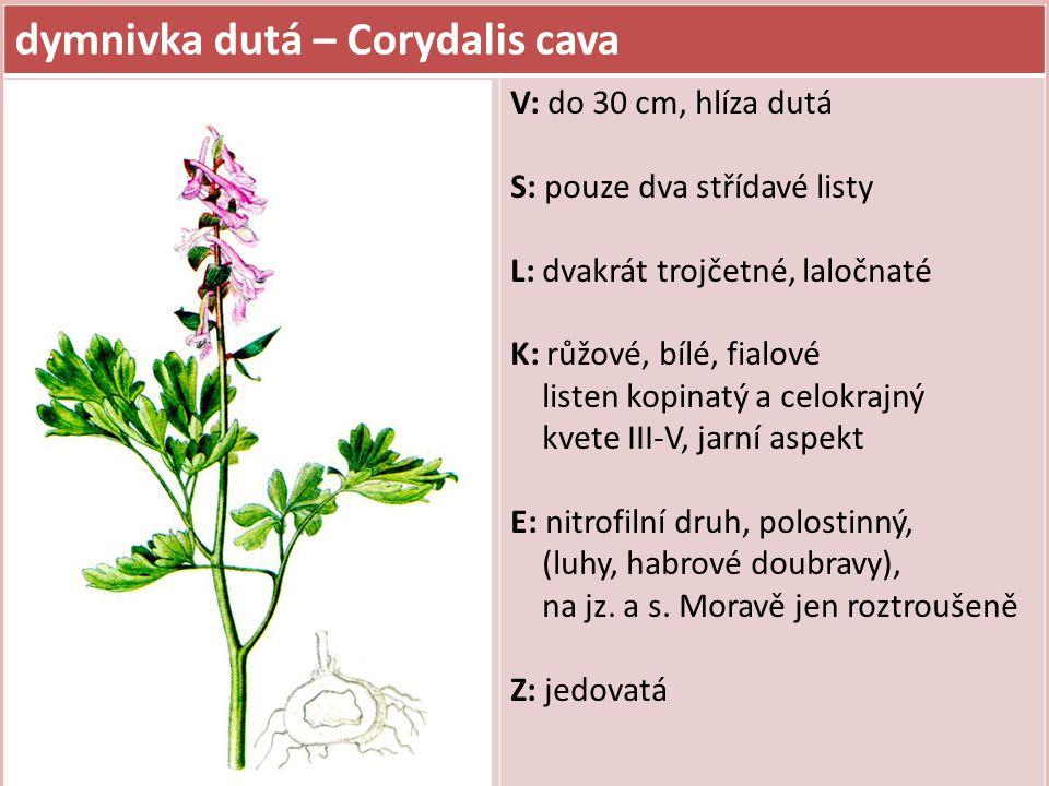 dymnivka dutá – Corydalis cava V: do 30 cm, hlíza dutá S: pouze dva střídavé listy L: dvakrát trojčetné, laločnaté K: růžové, bílé, fialové listen kop