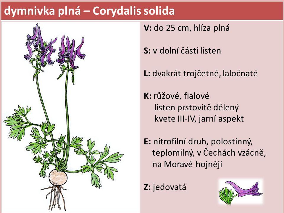 dymnivka plná – Corydalis solida V: do 25 cm, hlíza plná S: v dolní části listen L: dvakrát trojčetné, laločnaté K: růžové, fialové listen prstovitě d