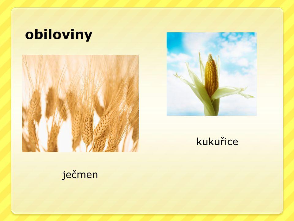 obiloviny ječmen kukuřice