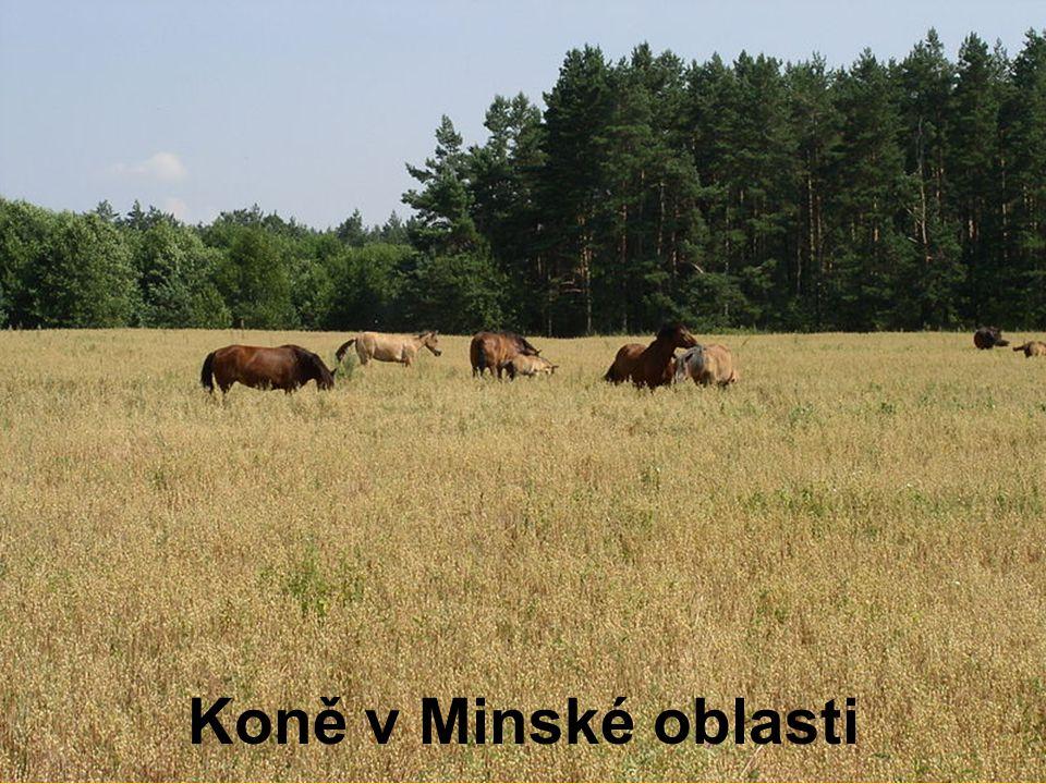 Koně v Minské oblasti
