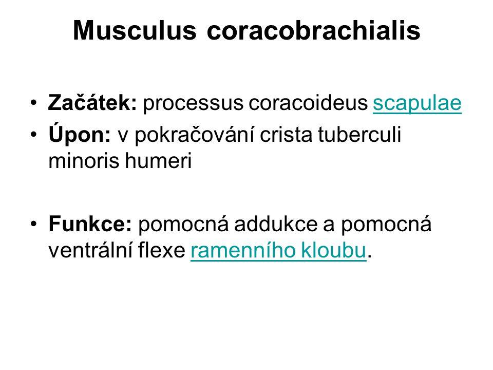 Musculus coracobrachialis Začátek: processus coracoideus scapulaescapulae Úpon: v pokračování crista tuberculi minoris humeri Funkce: pomocná addukce a pomocná ventrální flexe ramenního kloubu.ramenního kloubu