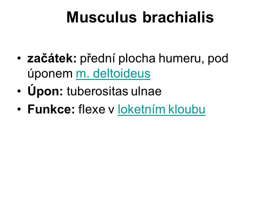 Musculus brachialis začátek: přední plocha humeru, pod úponem m.