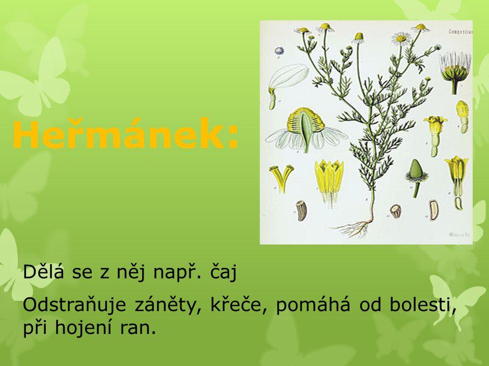 Lípa : Lipový květ patří k nejznámějším léčebným prostředkům. Čaj z květu pomáhá proti nachlazení.