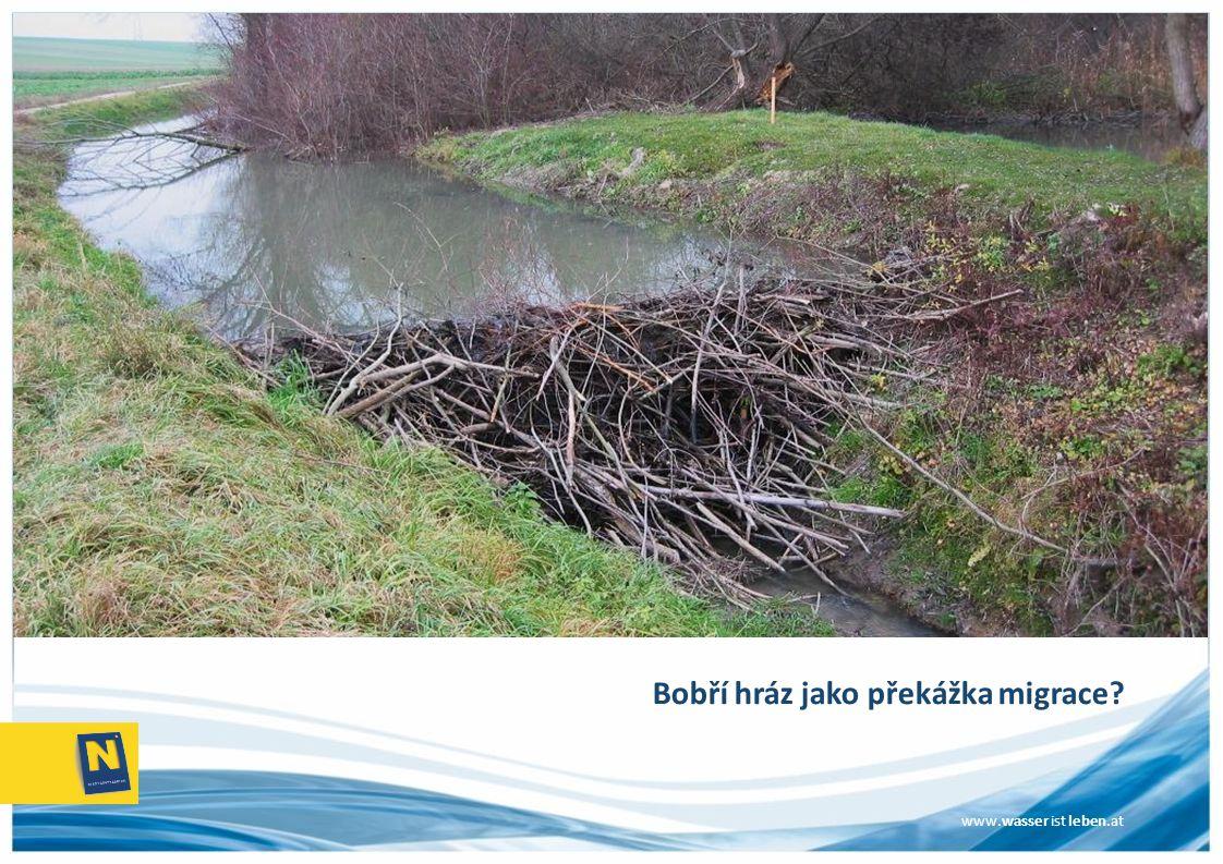 www.wasser ist leben.at Bobří hráz jako překážka migrace?