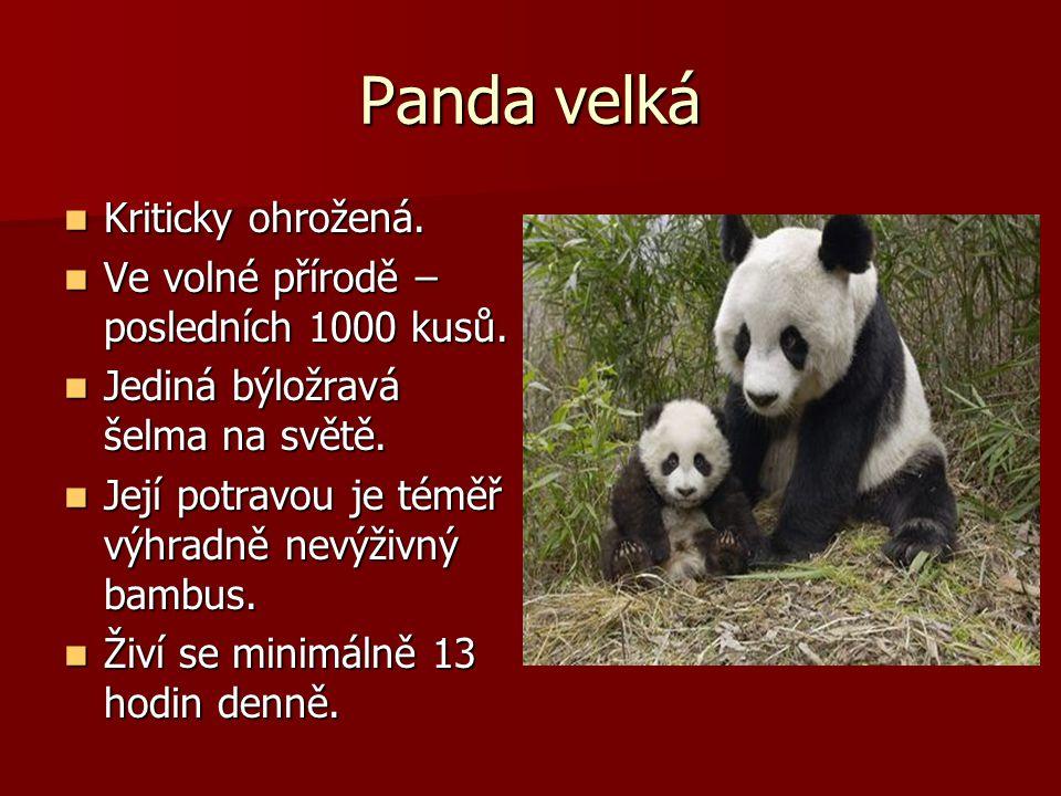Panda velká Kriticky ohrožená. Kriticky ohrožená. Ve volné přírodě – posledních 1000 kusů. Ve volné přírodě – posledních 1000 kusů. Jediná býložravá š