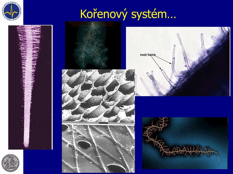 Kořenový systém…