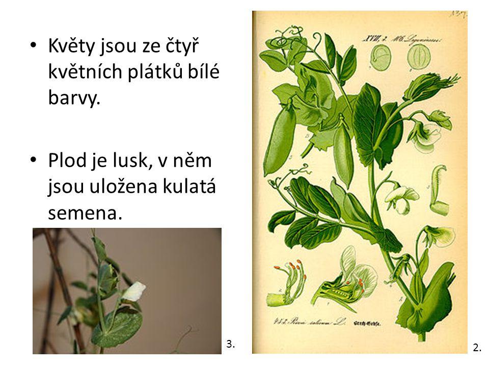 Květy jsou ze čtyř květních plátků bílé barvy. Plod je lusk, v něm jsou uložena kulatá semena.