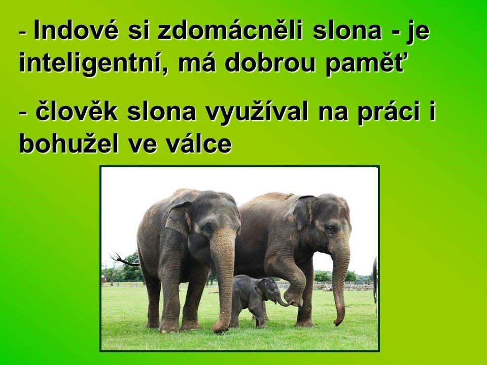 - Indové si zdomácněli slona - je inteligentní, má dobrou paměť - člověk slona využíval na práci i bohužel ve válce