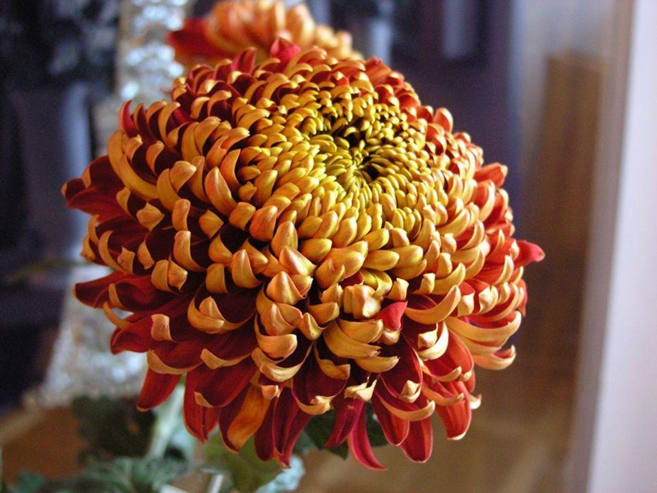 Chryzantéma je oblíbená po tisíciletí, především v zemích východní Asie a Dálného východu, kde ji uctívali jako symbol Slunce.