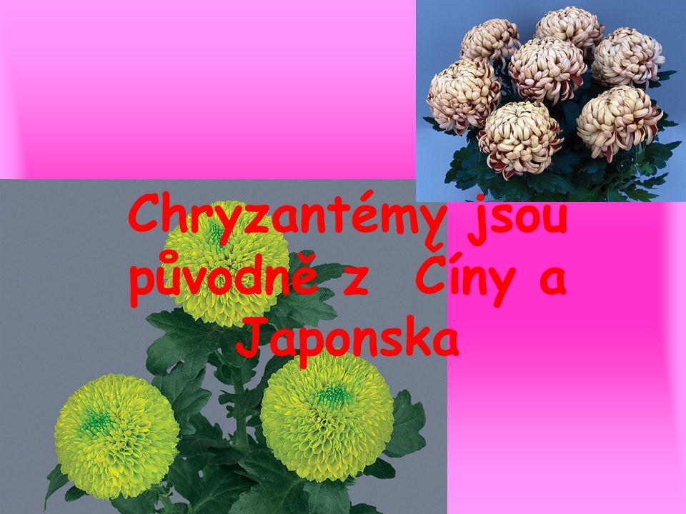 Chryzantémy jsou původně z Číny a Japonska